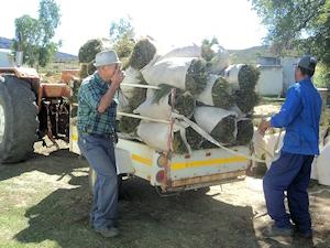 Harvesting Rooibos Tea